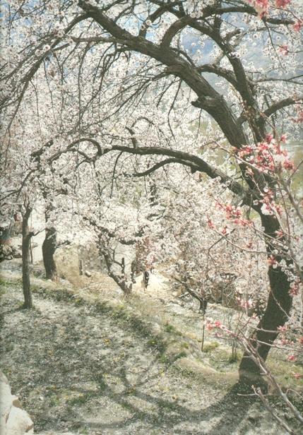 09 apricot tree